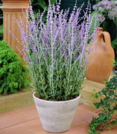 Perovskia atriplicifolia Little Spire ®
