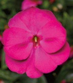Бальзамин Ново-гвинейский Дивайн Виолет