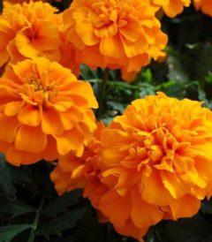 Бархатцы Отклоненные Чика Оранж