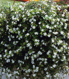Bacopa sutera speciosa Snowtopia Eriline vesikaak