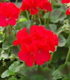 Пеларгония Зональная Апаче Ред