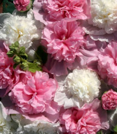 Шток-роза Бридесмейд