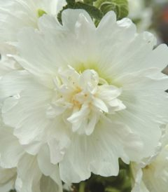 Шток-роза Спринг Селебритис Вайт