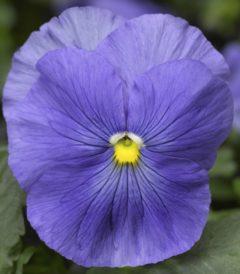 Виола Крупноцветковая Дельта Тру Блю