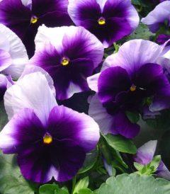 Виола Крупноцветковая Селло Биконсфилд